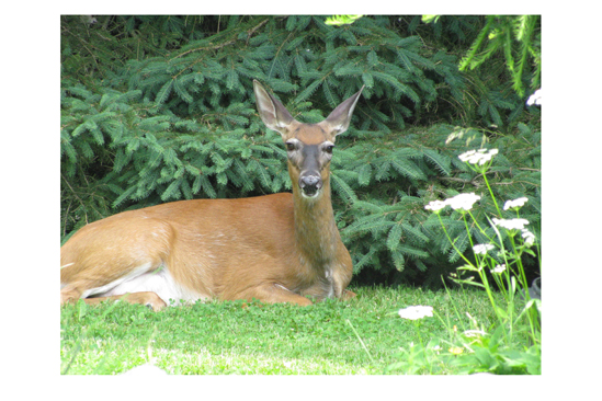 Doe hanging out in my front yard. Trying to find some shade on a hot summer's day. She thinks she's hiding.