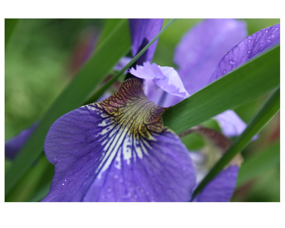 Iris. Photograph from my garden.
