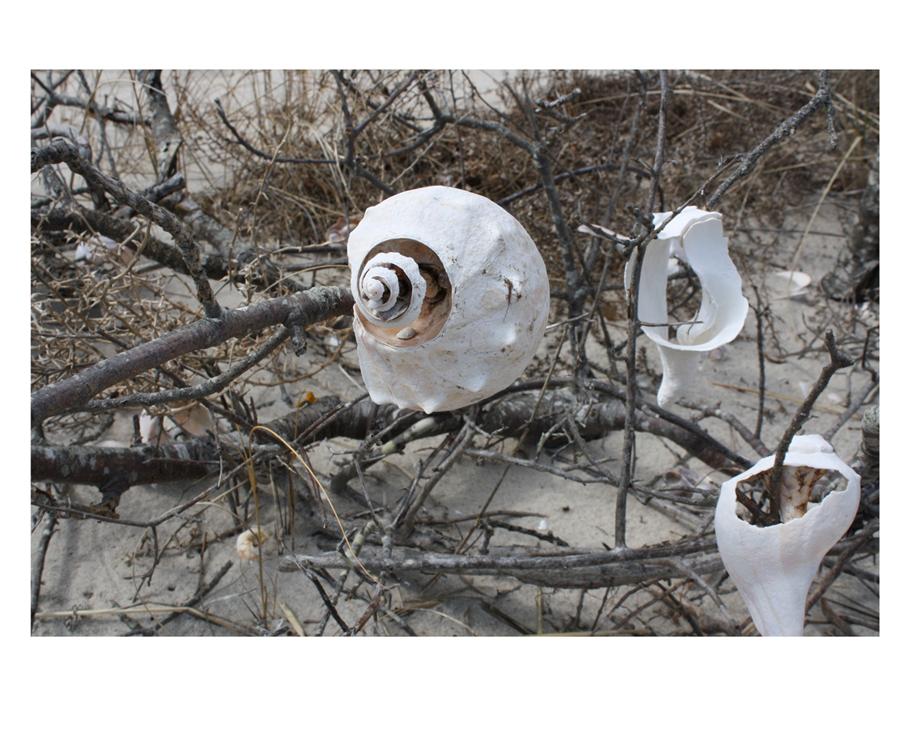 Shells on a tree. Photograph taken on a beach in Massachusetts.