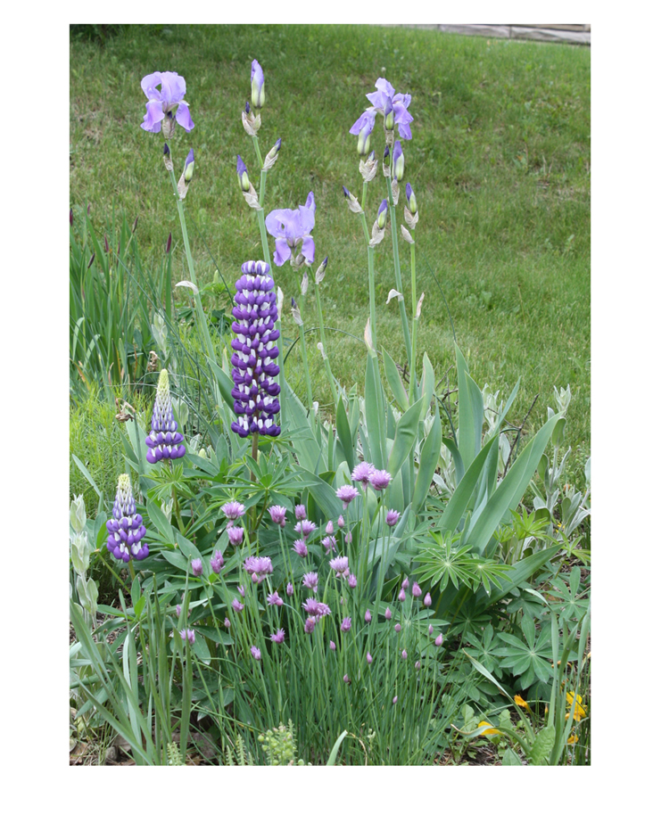 Lupine, Iris and Chives. Photograph taken in my garden.