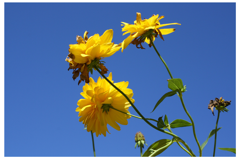Yellow flowers against blue sky. Photograph taken in a friend's back yard.