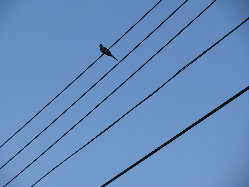 Mourning Dove. This mourning dove sang to me on my way by as a walked under the wires.