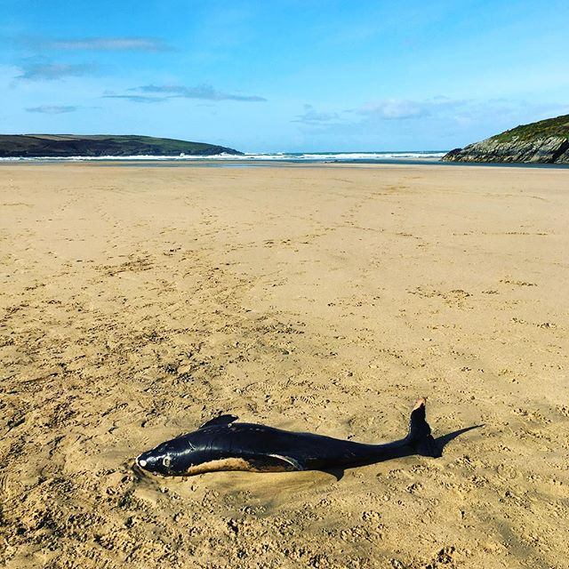 Sad to find this guy on the beach today on our dog walk :-( #crantock #newquay #cornwall #kernow #porpoise #dolphin #dolphins #sun #sea #sand #waves #surf #surfing #surfer #surfers #beach #beaches #walk #walking  #ocean #atlantic #wave
