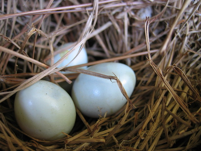 nest-full-of-eggs-1326847-640x480.jpg