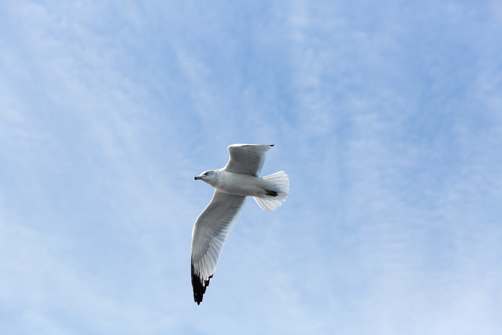 Seagull in flight, New York
