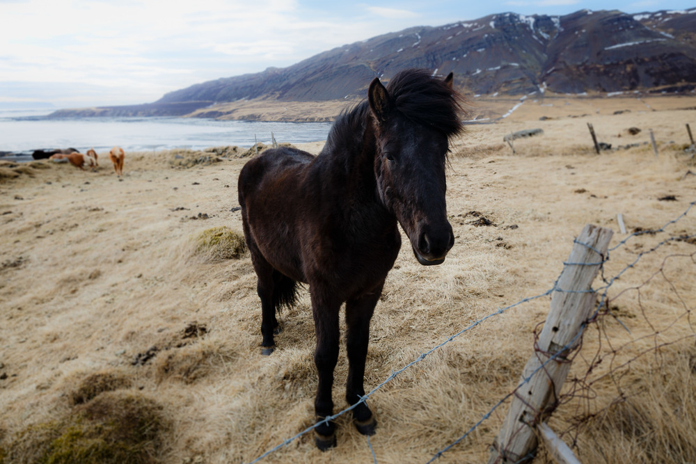 Icelandic Horse in the Westfjords, Iceland