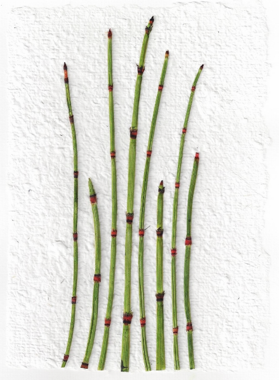 horsetail-reeds