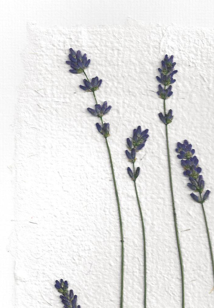 lavender-pressed-flowers
