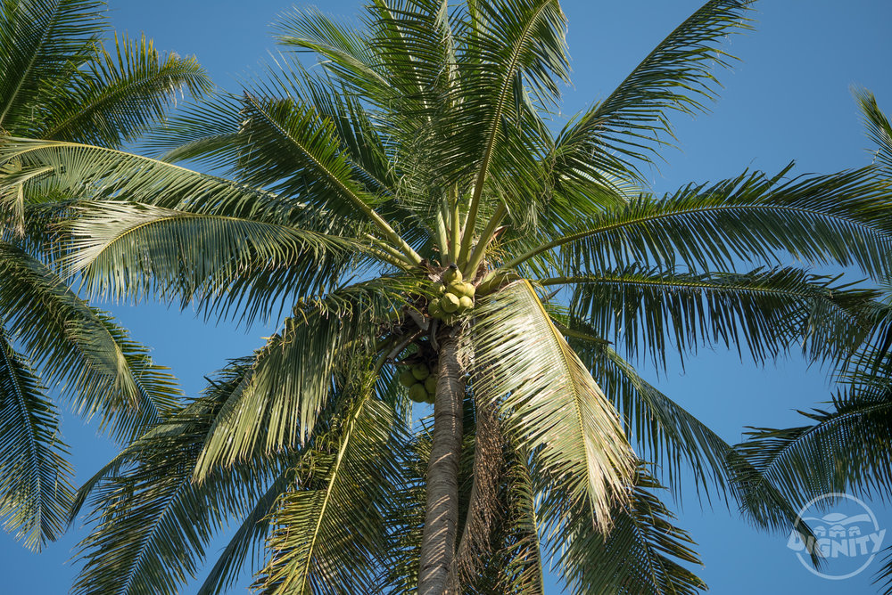 Get the best coconuts - First, we harvest our coconuts from the pristine coastline of the Philippines. This is an area largely untouched by industry and chemicals. It's a great start for each tree. Warm, sandy beaches. It's like they are on vacation.
