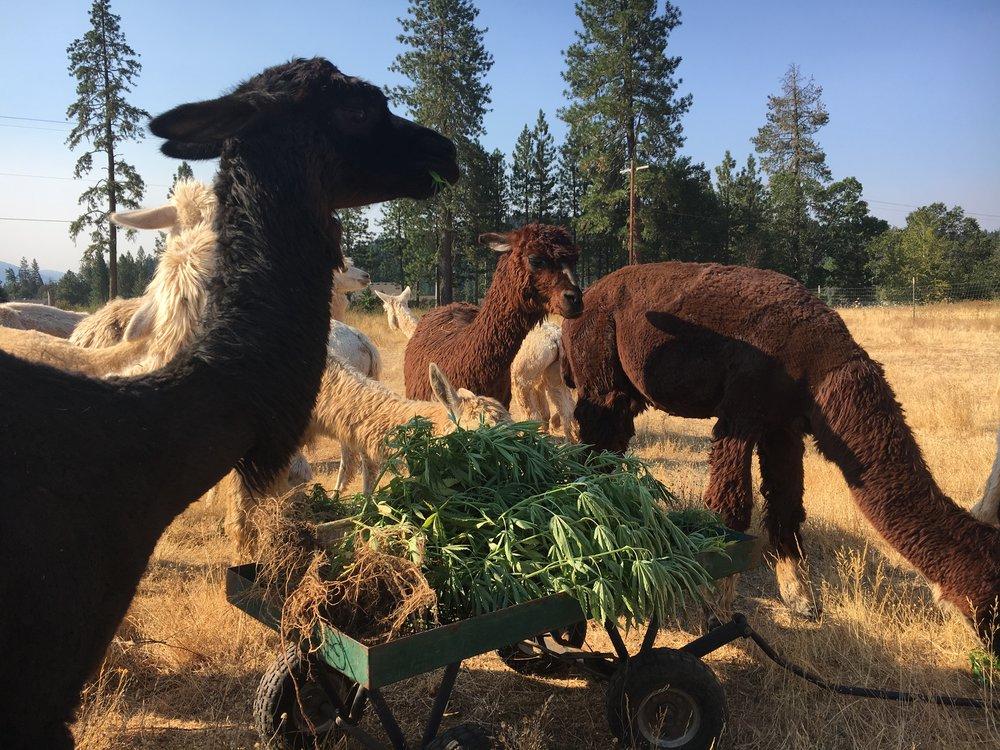 Thea's hemp pile aug18.JPG