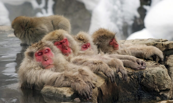 Like comfortable snow monkeys, it seems our industry is not yet blessed with visionary leaders. Image courtesy of https://www.backpackerdeals.com/japan/nagano/snow-monkeys-zenko-ji-temple-sake-1-day-tour