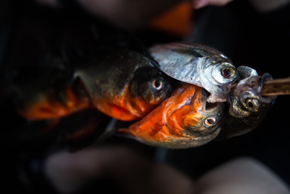 Stoll_Shira_2015_PiranhaFishing_8.jpg