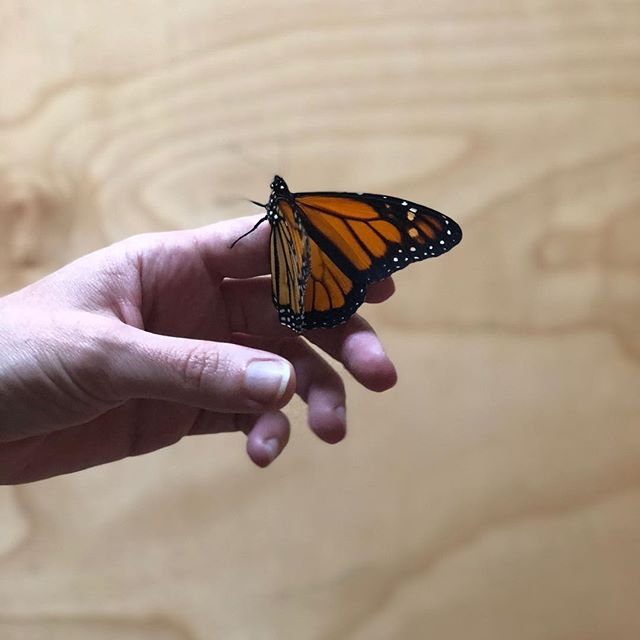What we've been up to in between filling your orders, replenishing our wonderful stockists, and prepping for markets: raising Monarchs!  So far we've had eight butterflies emerge from chrysalis with four more to go. Every single time, it feels like witnessing a small miracle.
