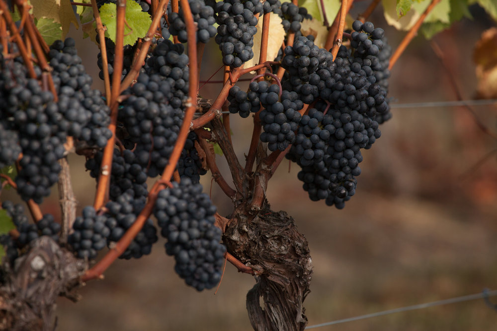 grapes201533.jpg