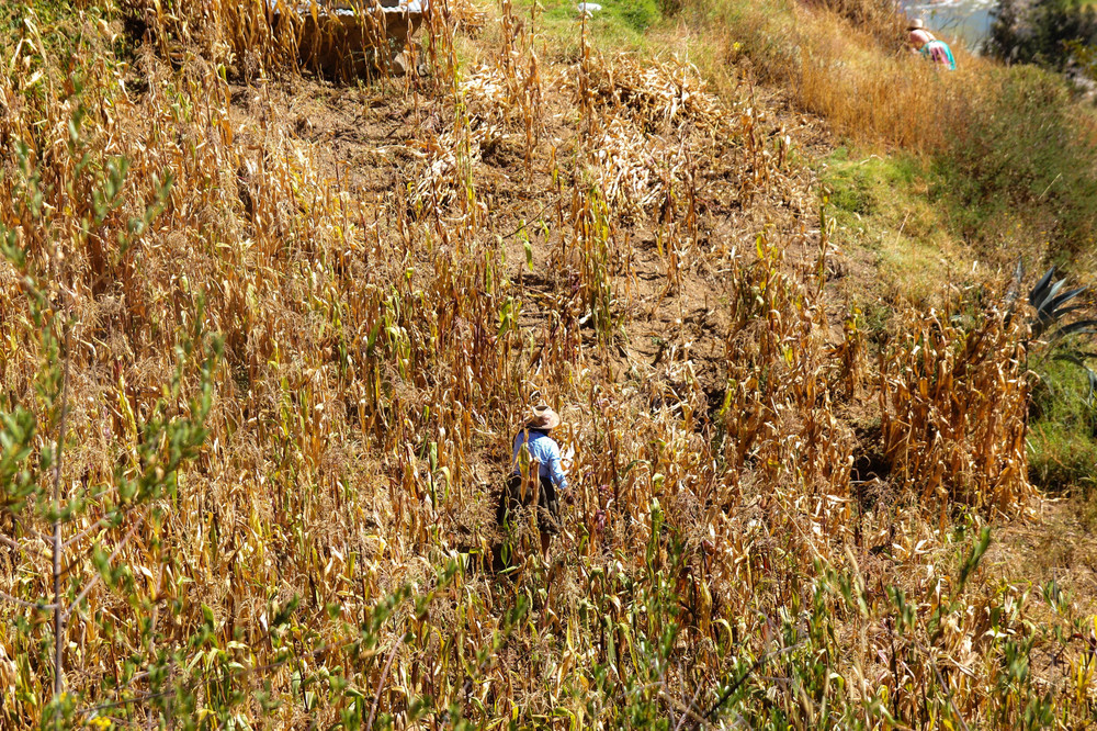 Woman in a corn field.