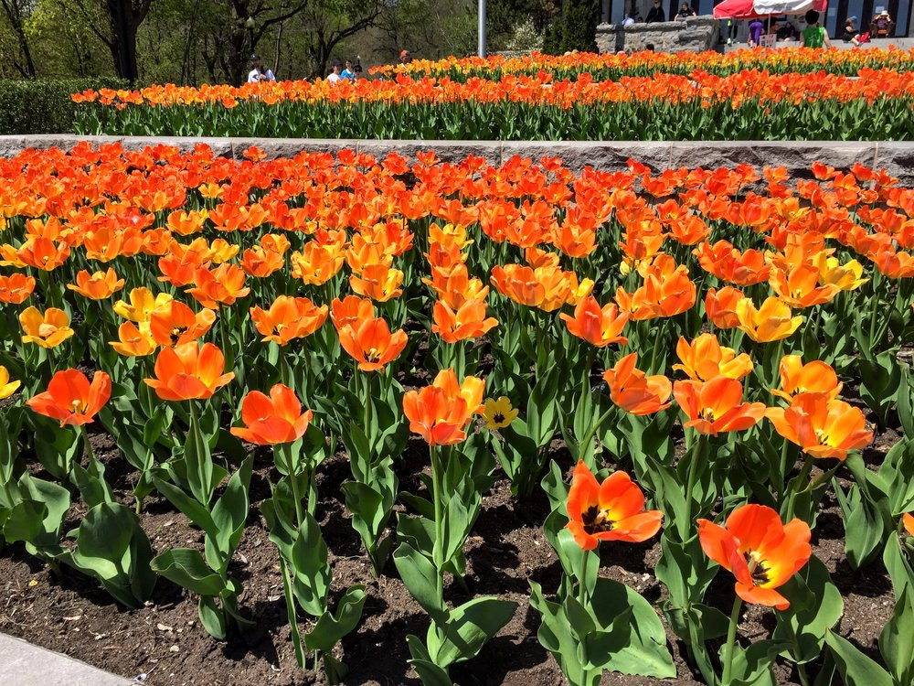 I love that there are tulips everywhere here - they're my favorite flower 🌷