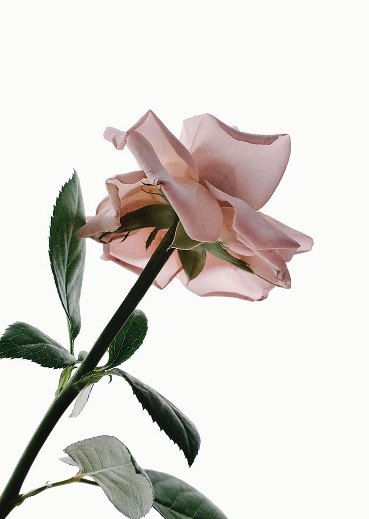 Rose_lowRes.jpg