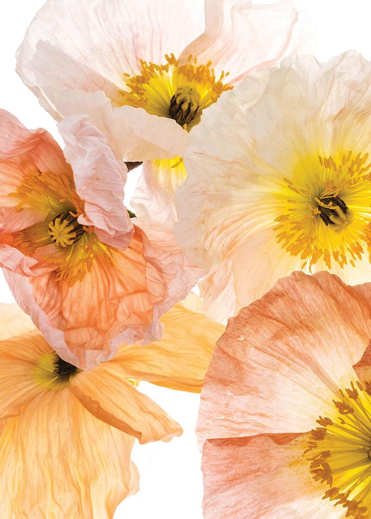 Poppies_LowRes.jpg