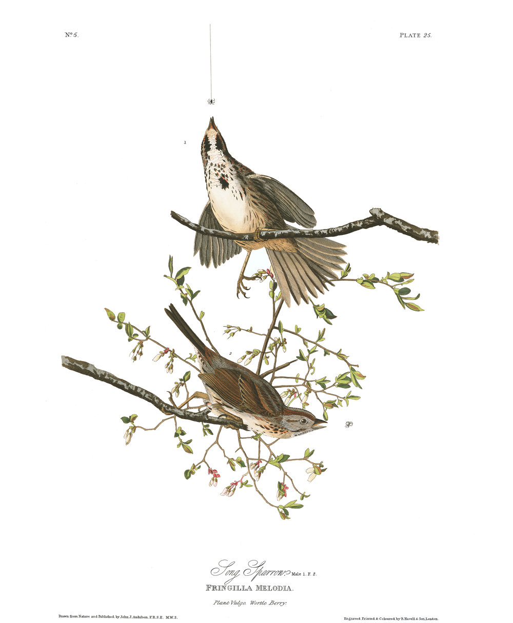 John J. Audubon, Song Sparrows. Image Public Domain.