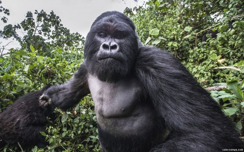 Pictured: A sober gorilla, mid-punch