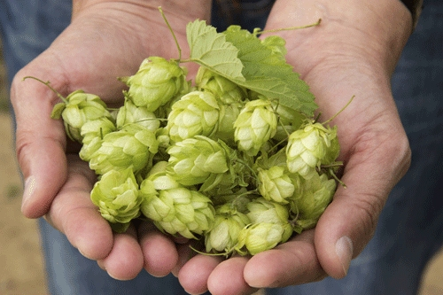 South African hops. *Everything shown here property of AB InBev, including the hands.