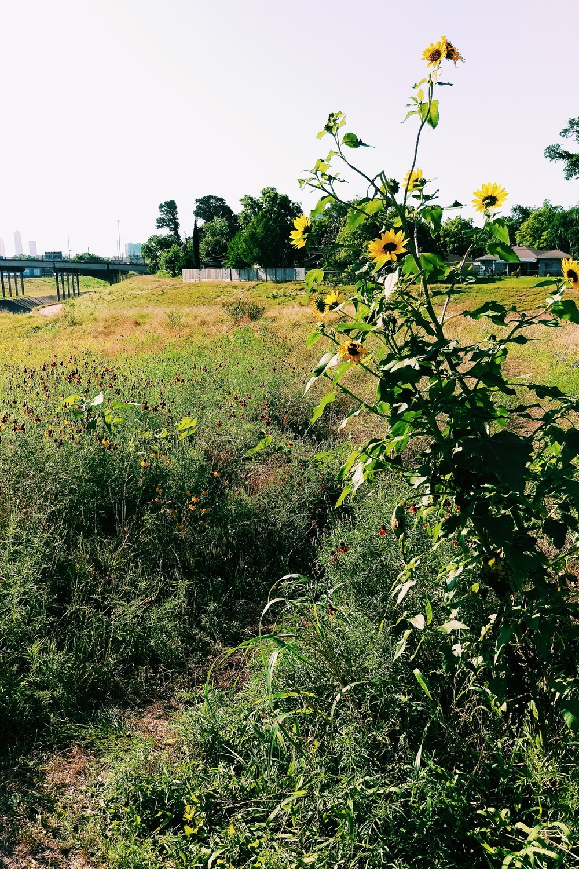 Sunflower Trail - Three Heel Clicks 9.jpg