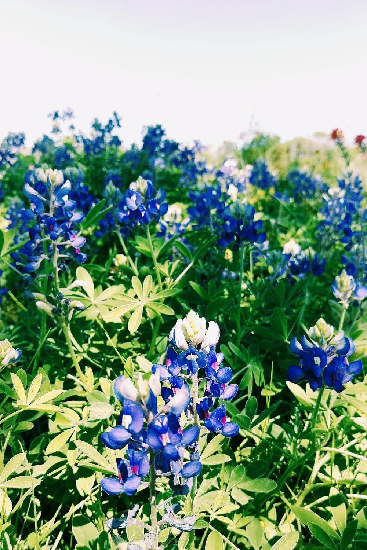Spring Green & Bluebonnets - Three Heel Clicks 2.jpg