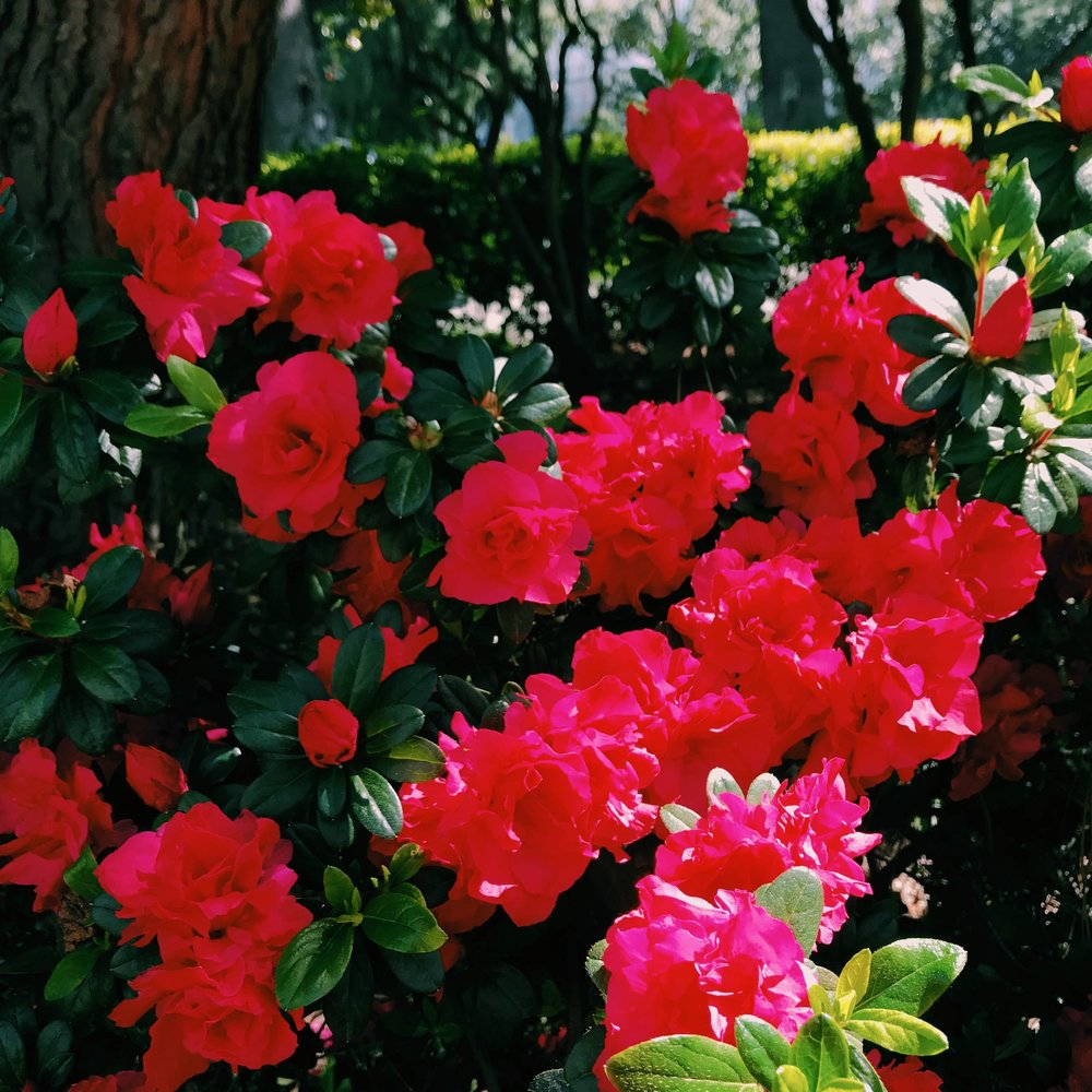 Three Heel Clicks - Spring Blooms in Sacramento's State Capitol Park (4).jpg