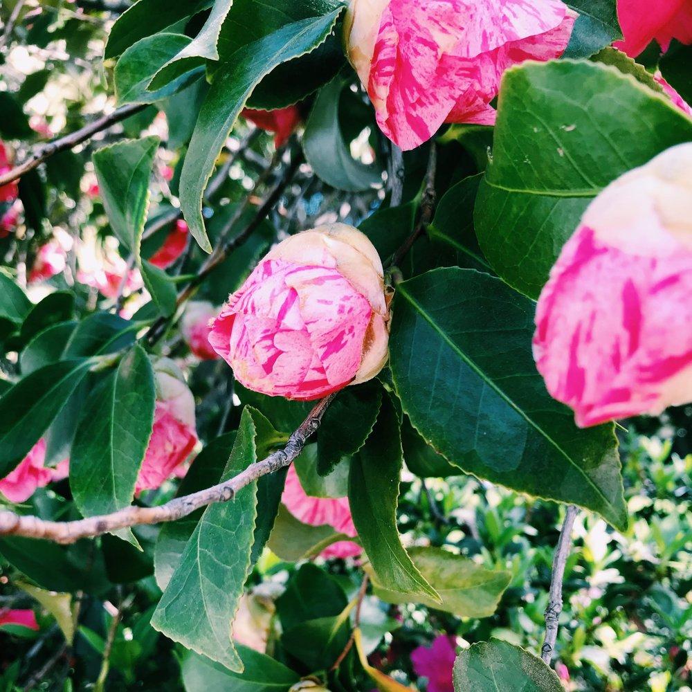 Three Heel Clicks - Spring Blooms in Sacramento's State Capitol Park (18).jpg