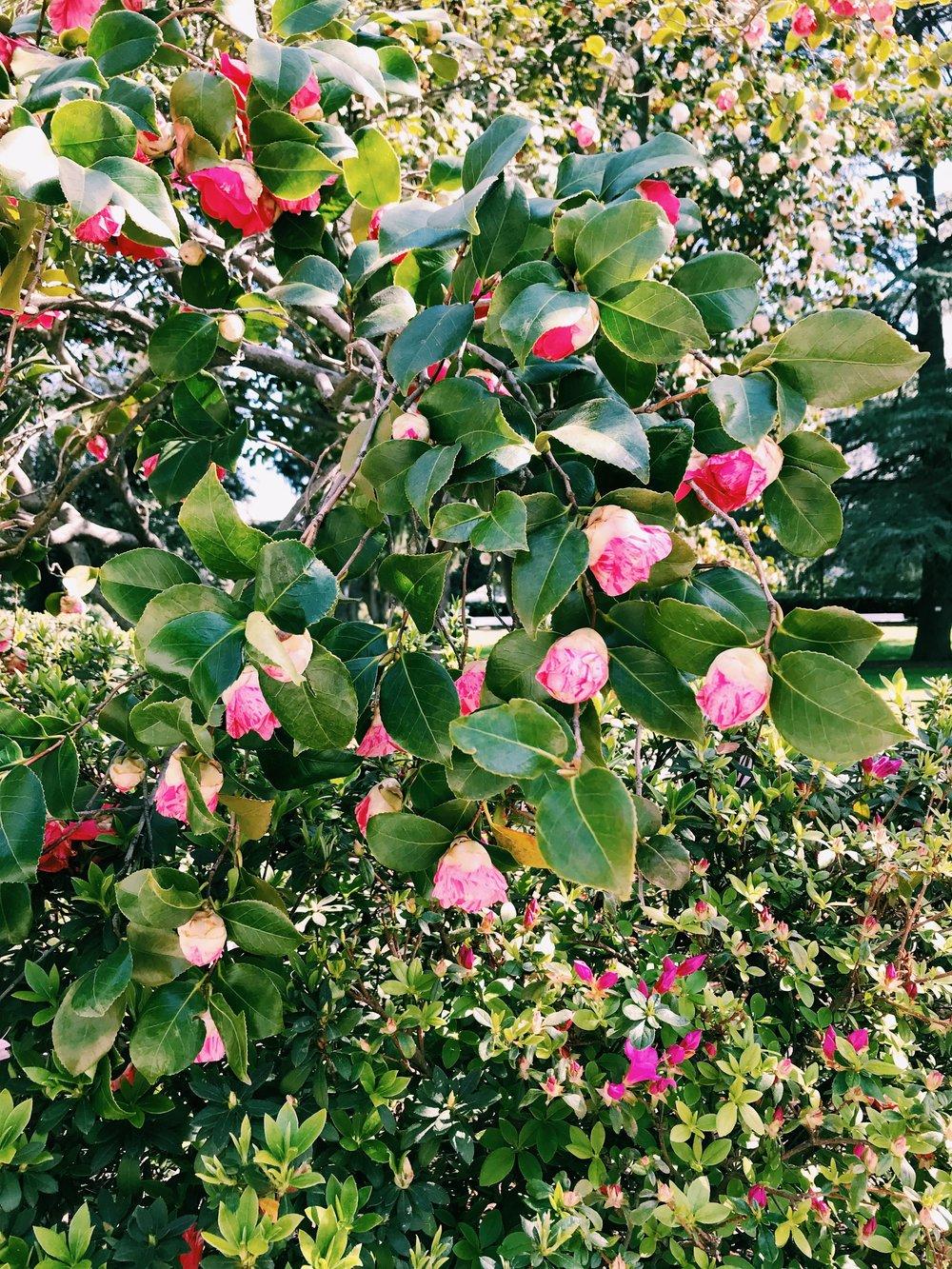 Three Heel Clicks - Spring Blooms in Sacramento's State Capitol Park (11).jpg