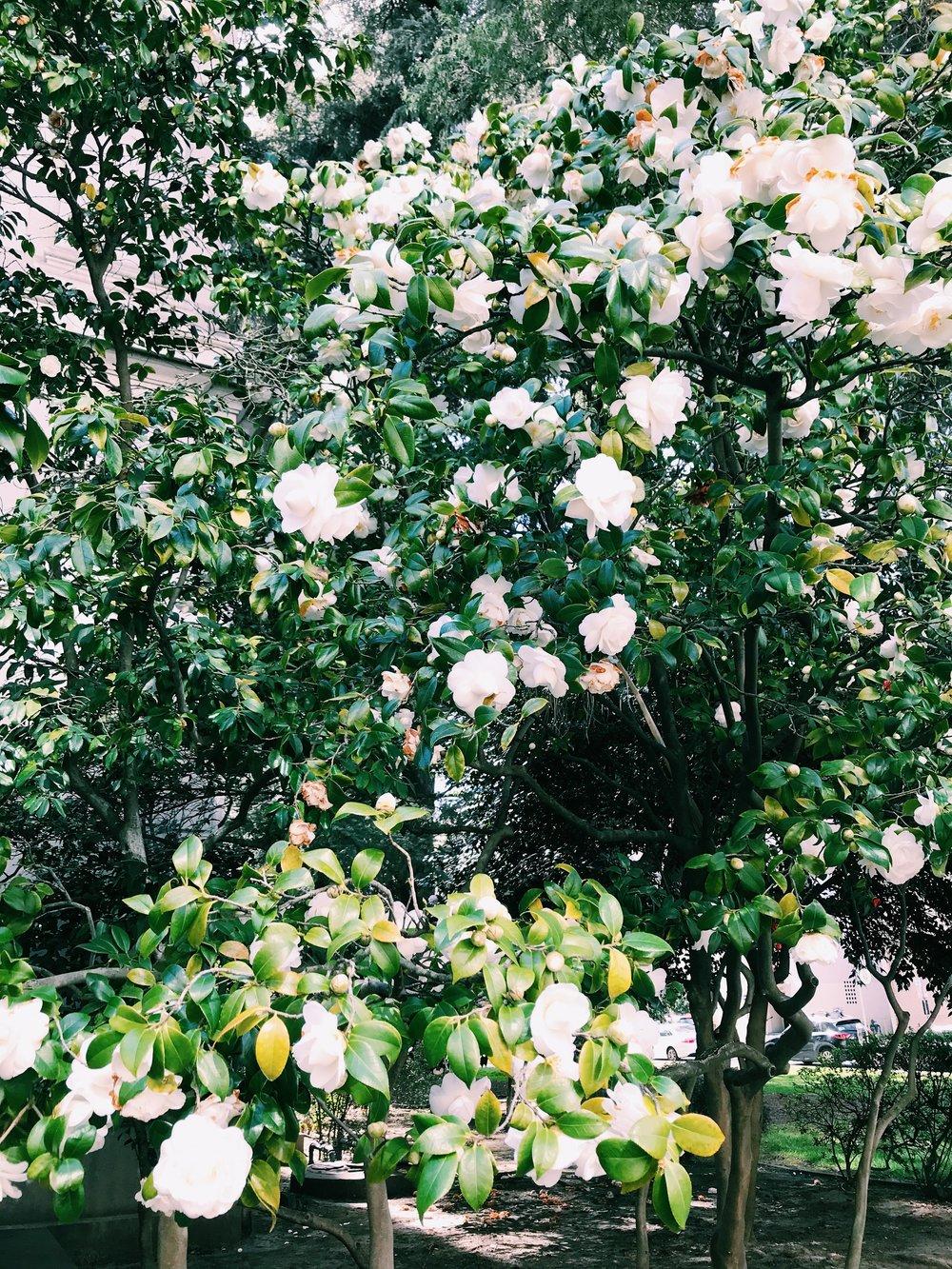 Three Heel Clicks - Spring Blooms in Sacramento's State Capitol Park (10).jpg