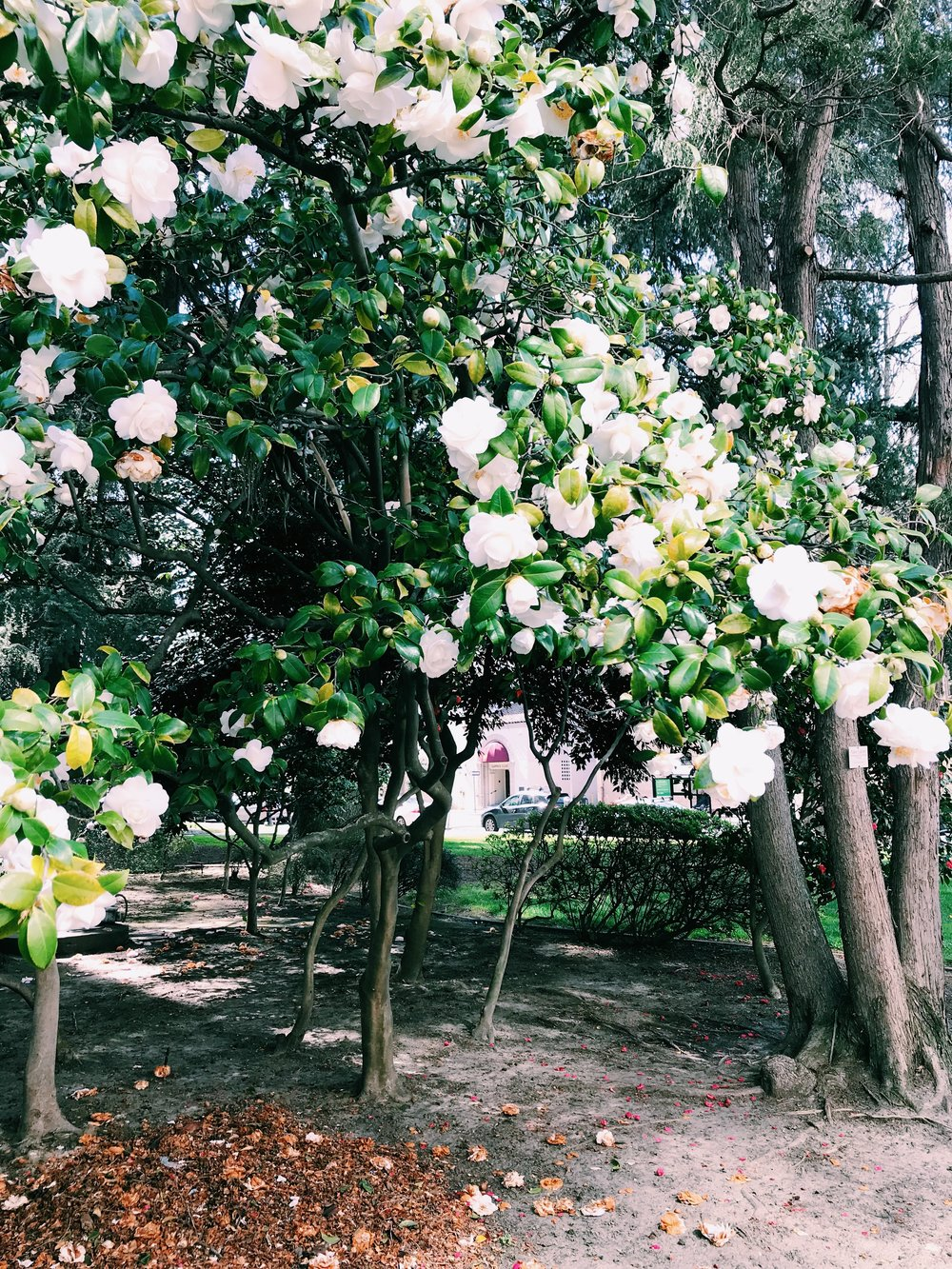Three Heel Clicks - Spring Blooms in Sacramento's State Capitol Park (20).jpg