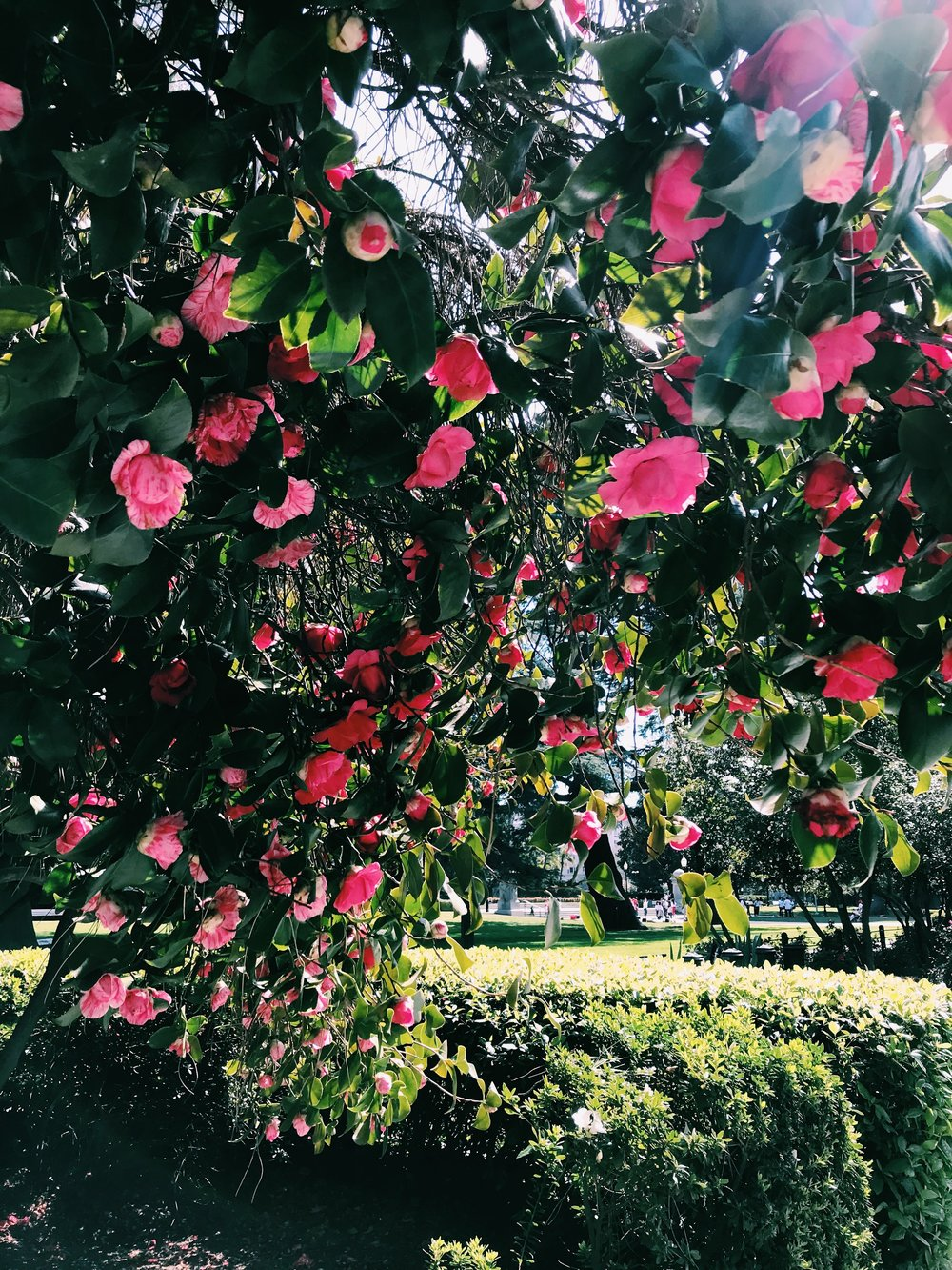 Three Heel Clicks - Spring Blooms in Sacramento's State Capitol Park (8).jpg