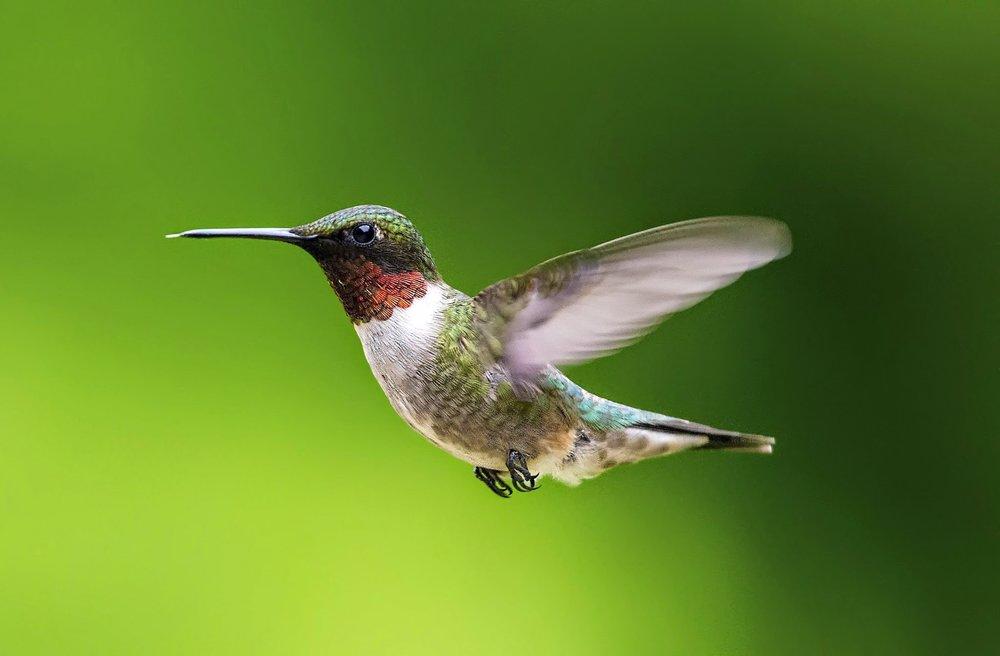 Humming Bird 1.jpg