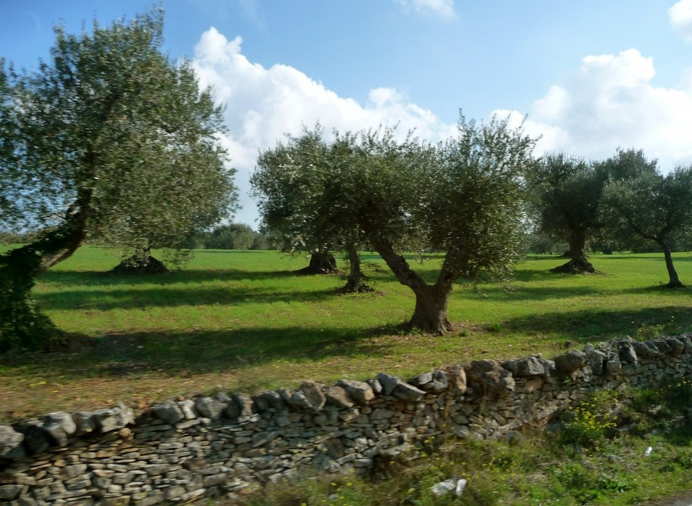 Ancient Olive Trees in Puglia