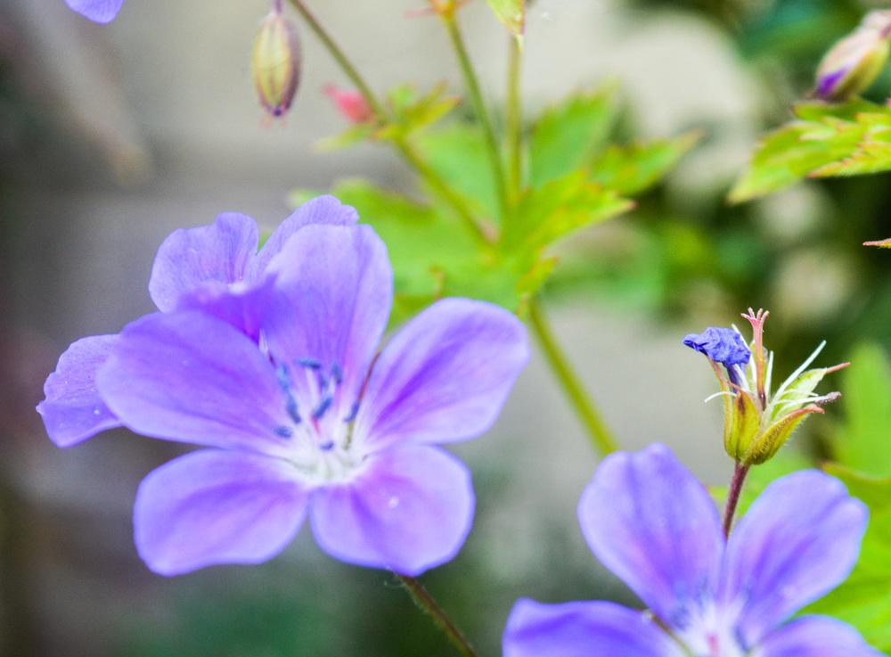 purpleflowers1edited.jpg