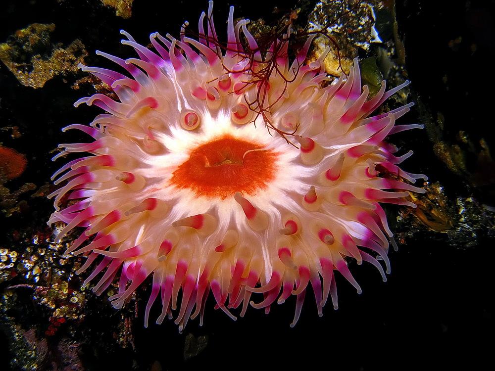 A gorgeous sea anemone, Lærgjógv/Nolsoy