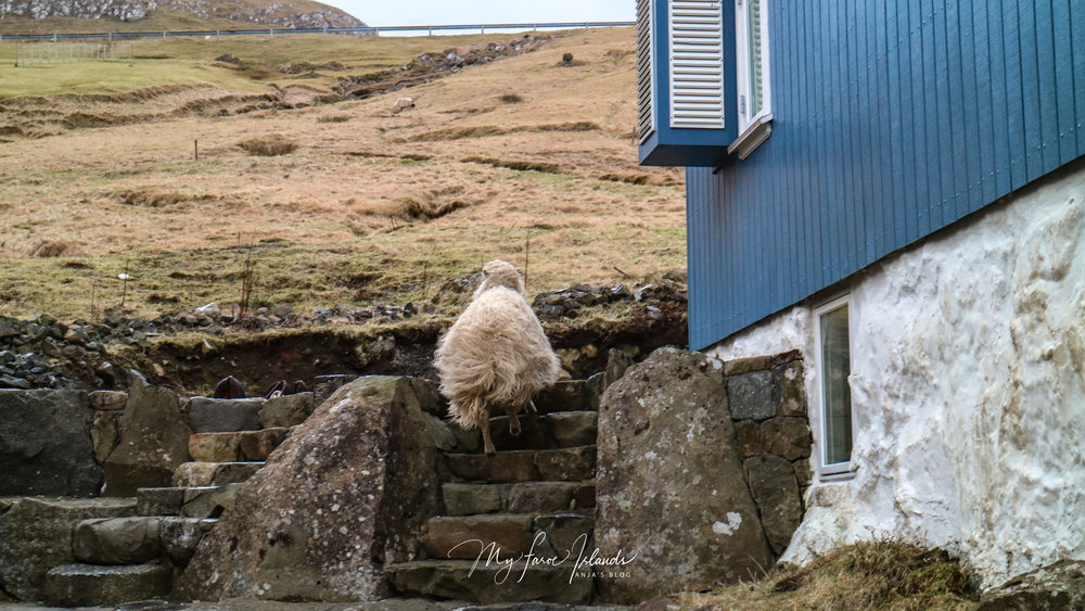 Sheep Mailman 1 © My Faroe Islands, Anja Mazuhn  (1 von 1).jpg
