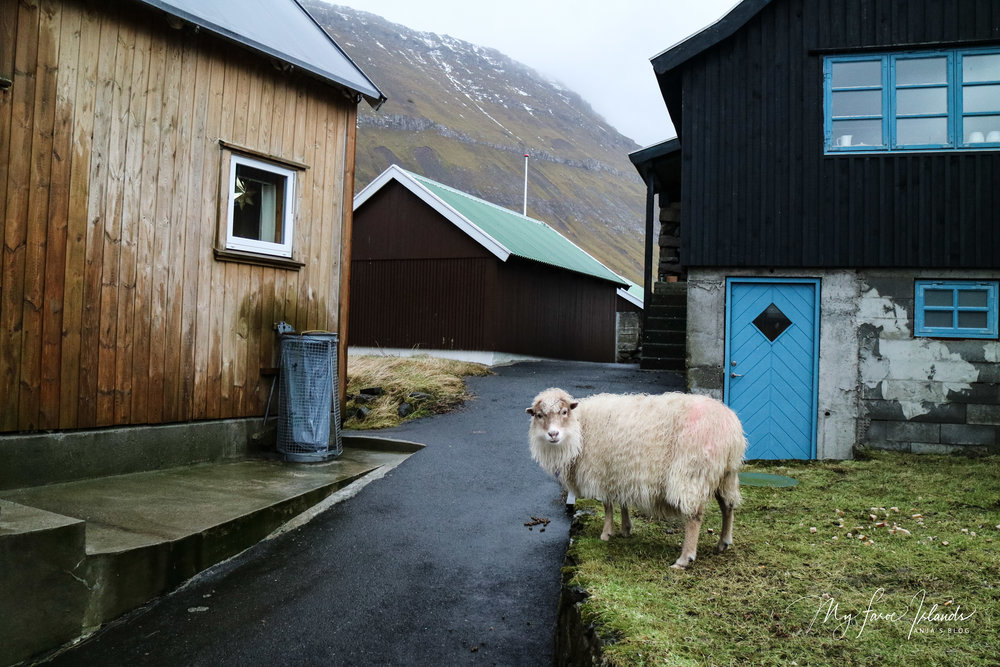 Sheep Near Garbage © My Faroe Islands, Anja Mazuhn  (1 von 1).jpg