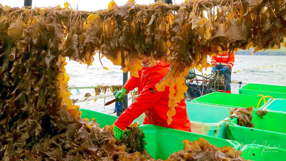 Seaweed © My Faroe Islands, Anja Mazuhn  (1 von 1).jpg