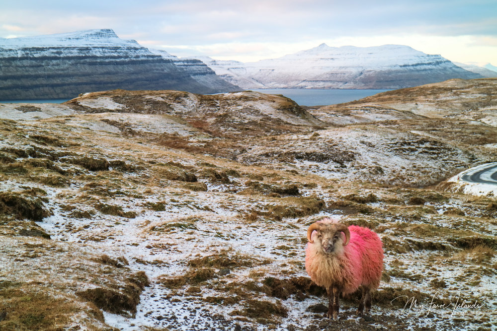 2018 Sheep 2 ©My Faroe Islands, Anja Mazuhn  (1 von 1).jpg
