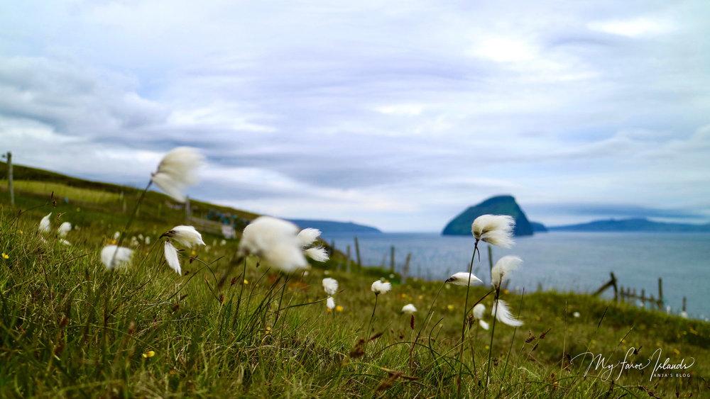 B-day decoration: Cotton grass on the island Vágar, close to Sandavágur, with Koltur in view