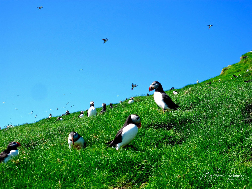 Sun and Puffins  © My Faroe Islands, Anja Mazuhn  (1 von 1).jpg