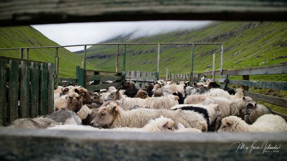 Sheep © My Faroe Islands, Anja Mazuhn  (1 von 1).jpg