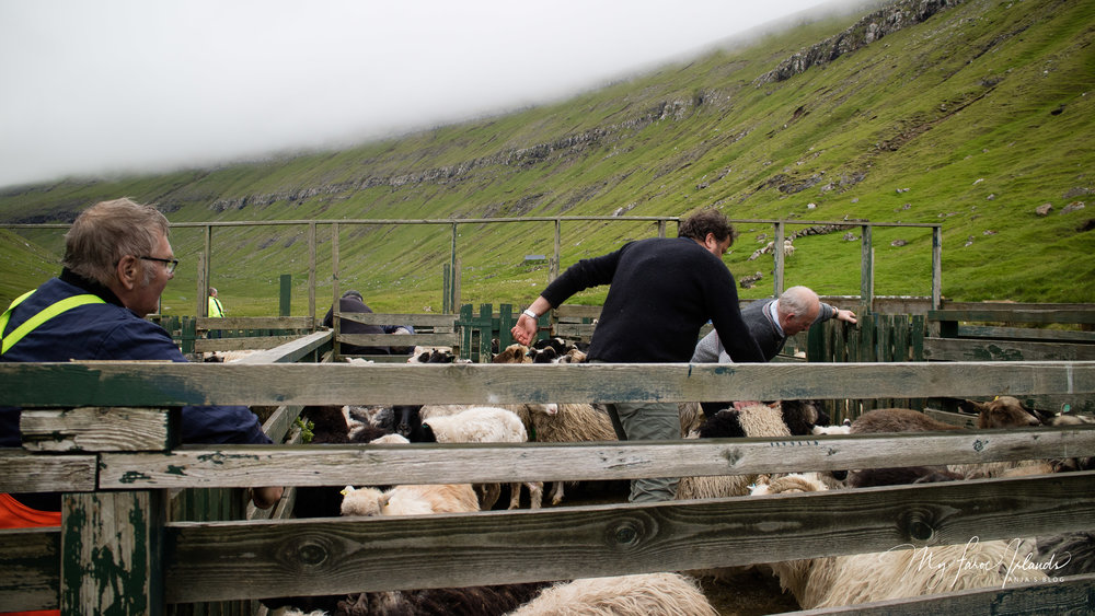 Sheep Rodeo © My Faroe Islands, Anja Mazuhn  (1 von 1).jpg