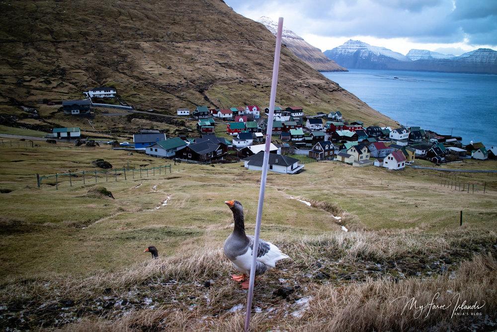 Funningur+Goose+©+My+Faroe+Islands,+Anja+Mazuhn++.jpg
