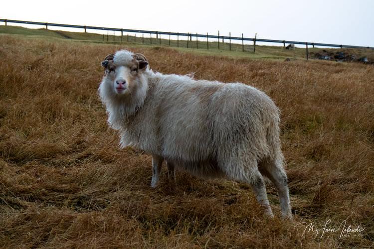 Christmas+Sheep++©+My+Faroe+Islands,+Anja+Mazuhn+.jpg