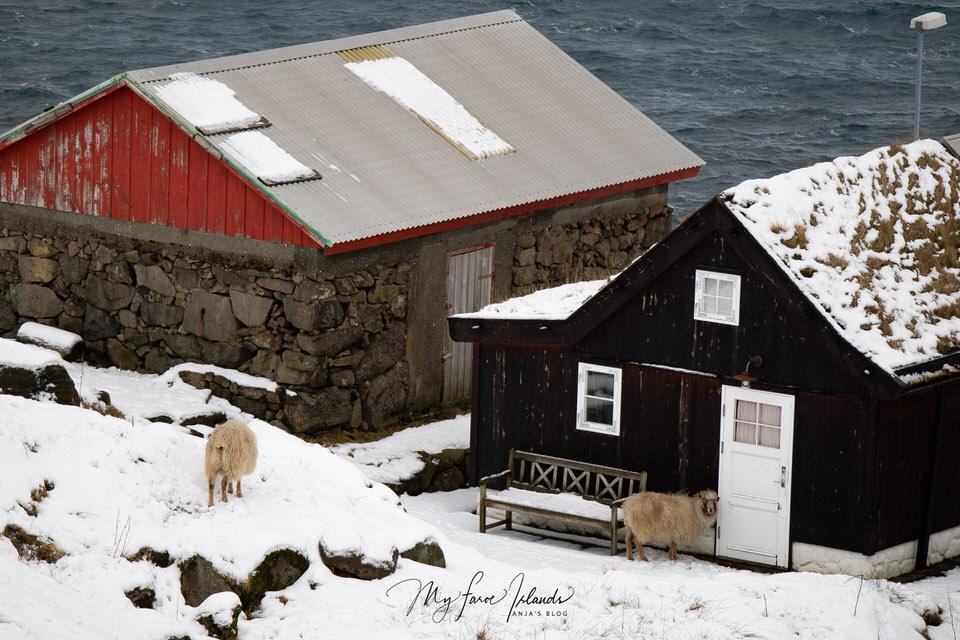 Sheep-Visitor-My-Faroe-Islands.jpg