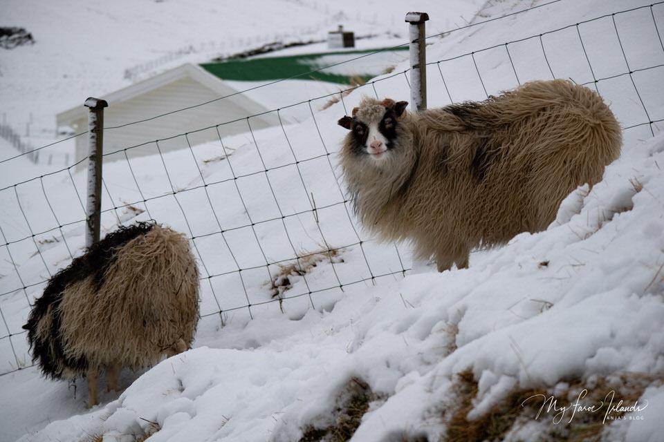 Smiling-Sheep-My-Faroe-Islands.jpg