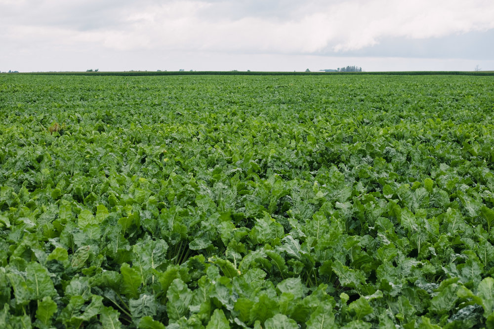 A sugar beet field. Michigan's Thumb is one of the few areas in the world that grows this significant crop.